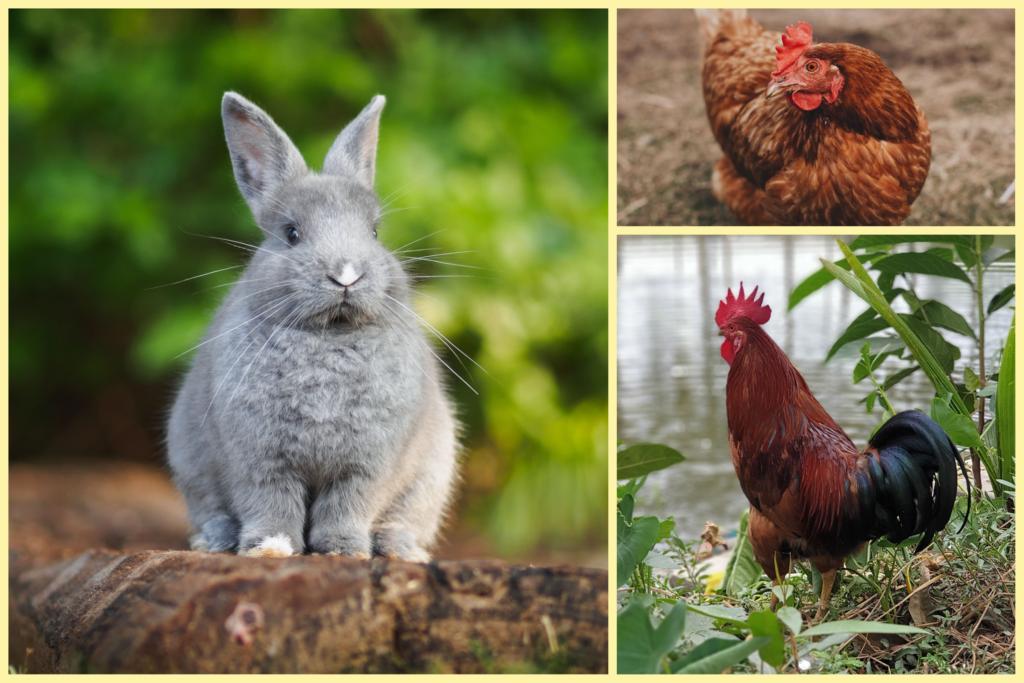En kanin, höna och tupp.