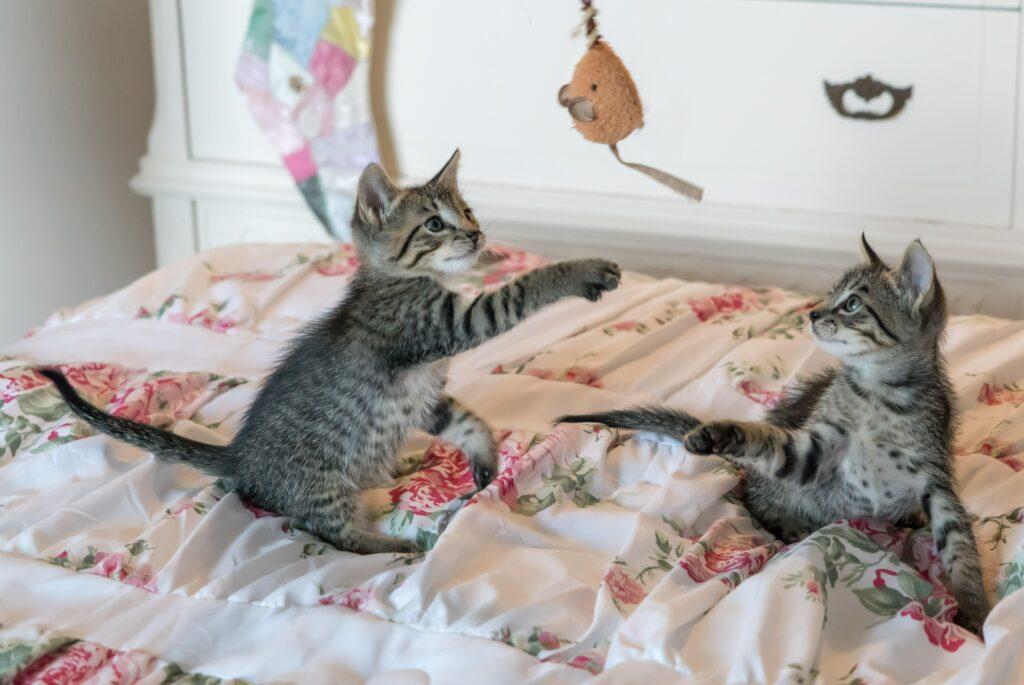 Kattungar som leker med en leksak i en säng.